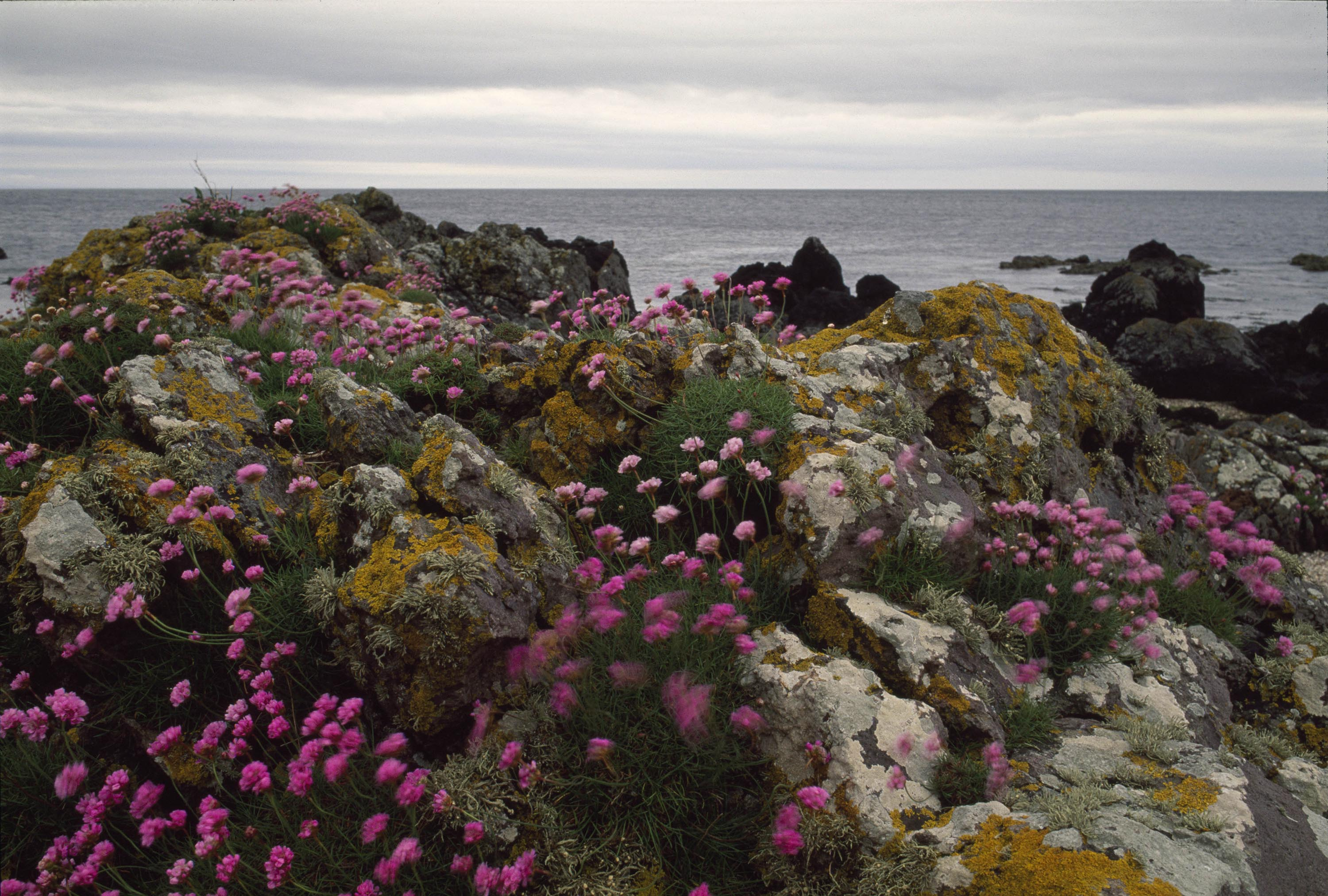 Wild flowers by the shore of Kintyre, Scotland, 1995